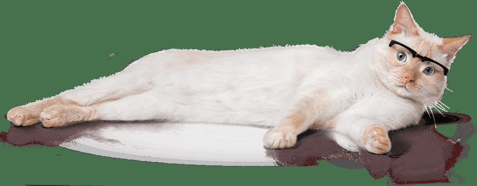 koto mascot cat in the glasses lying on the floor